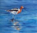 "American Avocet: Watercolor, 10""x10"""